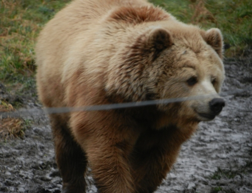 Brown Bear in Wildlife Park Poing