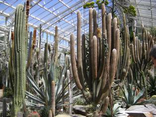 Cactuses in the green house