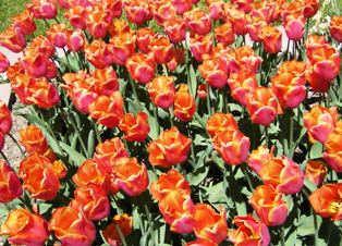 Red glowing triumph tulips Cairo